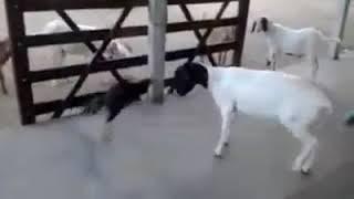 Goat and Hen/cock intresting fight murghay ki larai