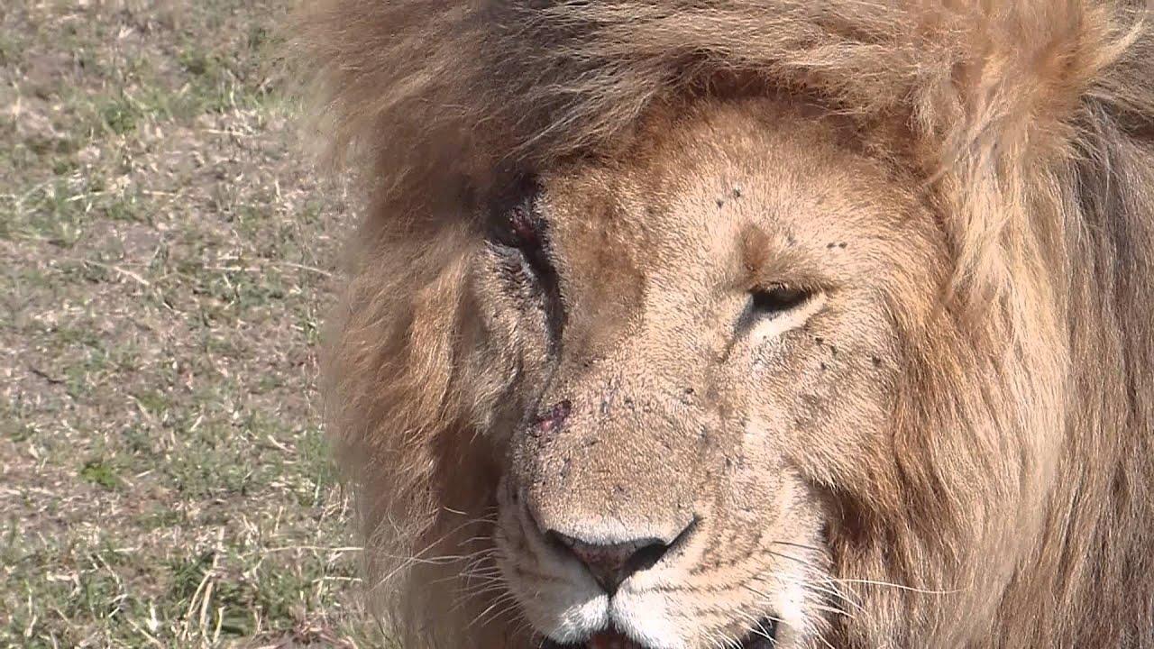Masai Mara Marsh Pride Dominant Male Lion Called