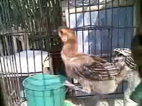 Anak Ayam Pelung Bojonggede video