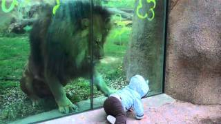 Lion trying to attack baby at zoo