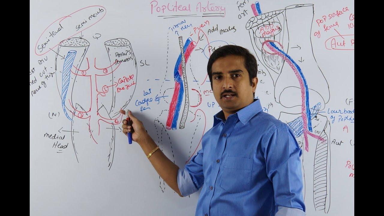 Anatomy of Popliteal Fossa Lower Limb Anatomy Popliteal