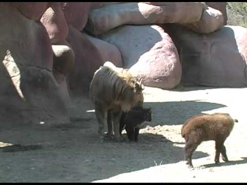Takin calves at Saint Louis Zoo Video