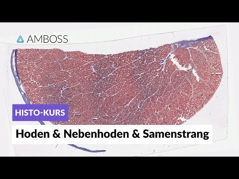 Histologie Hoden, Nebenhoden und Samenstrang - Mikroskopische Anatomie - AMBOSS Video