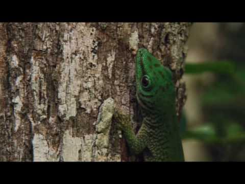 satanic leaf tailed gecko. Satanic Leaf Tailed Gecko