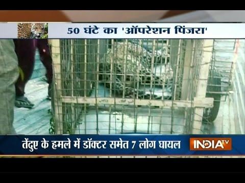 After 50 Hours of Search Operation Leopard Caught by Forest Department