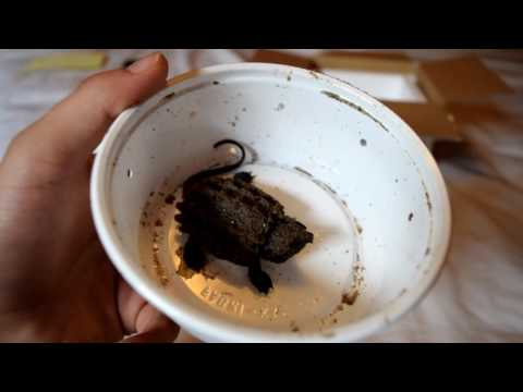 Baby Alligator Snapping Turtle Unboxing!!!