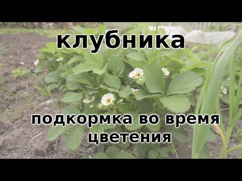 0 - Обробка полуниці під час цвітіння народними засобами