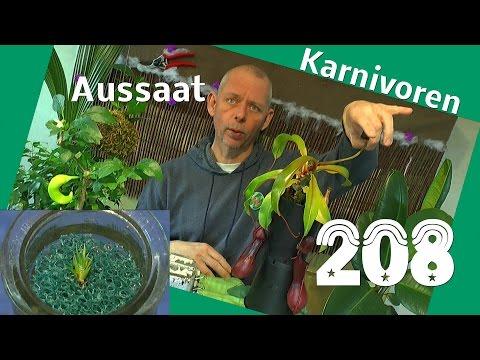 Fleischfressende Pflanzen die Schlauchpflanze Aussaat der Karnivoren