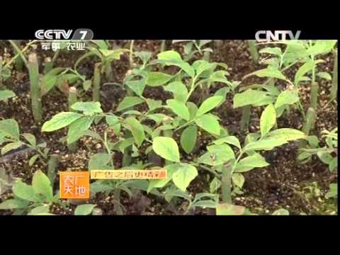 20141229 农广天地  兔眼蓝莓种植技术