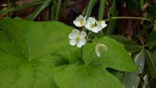 Յուրօրինակ ծաղկի թերթիկներն անհավատալիորեն թափանցիկ են դառնում անձրևի տակ