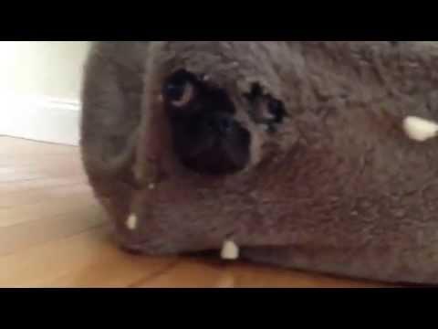 Pug Dressed as Seal Phyllis The Seal Pup Pug