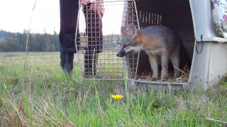 Rehabilitated Orphaned Gray Foxes Released