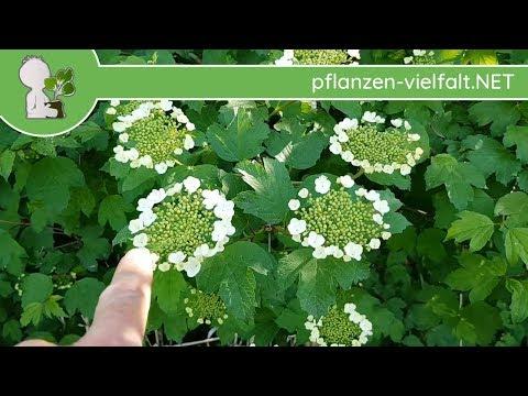 Gew. Schneeball - Blütebeginn - 30.04.15 (Viburnum opulus) - heimische Bäume bestimmen