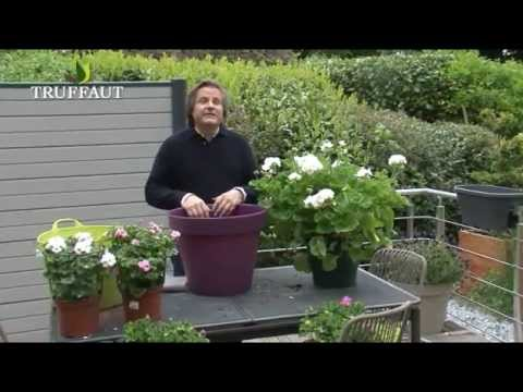 Culture et entretien du g ranium en pot youtube for Culture du bougainvillier en pot