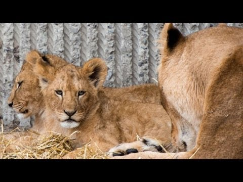 Zoo kills four lions to make way for new male