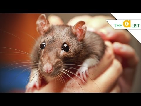 5 Things You Didn't know about Rats