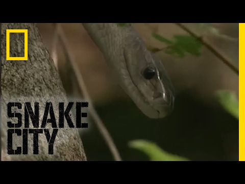 Black Mamba Escape - Episode 5   Deadliest Snake Encounters