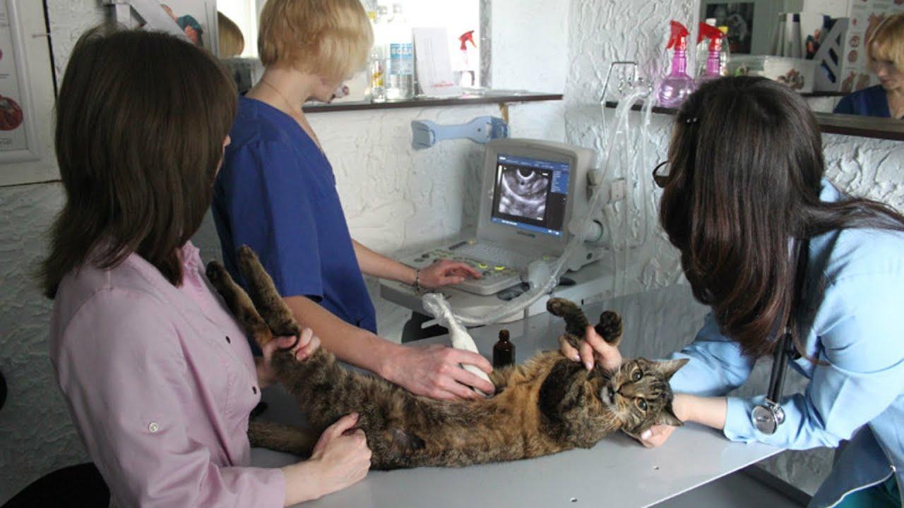 Как сделать кошке узи 178