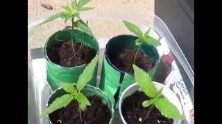medicinale cannabis maken