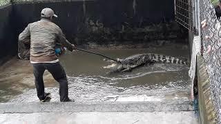 bắt cá sấu bằng cây