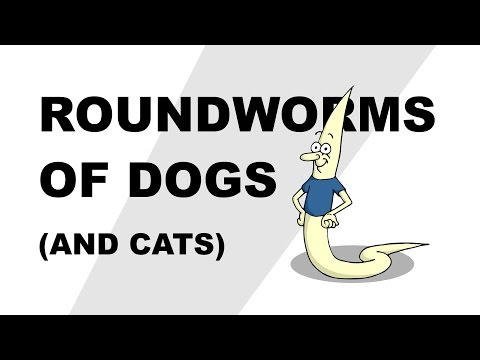 Roundworms in dogs