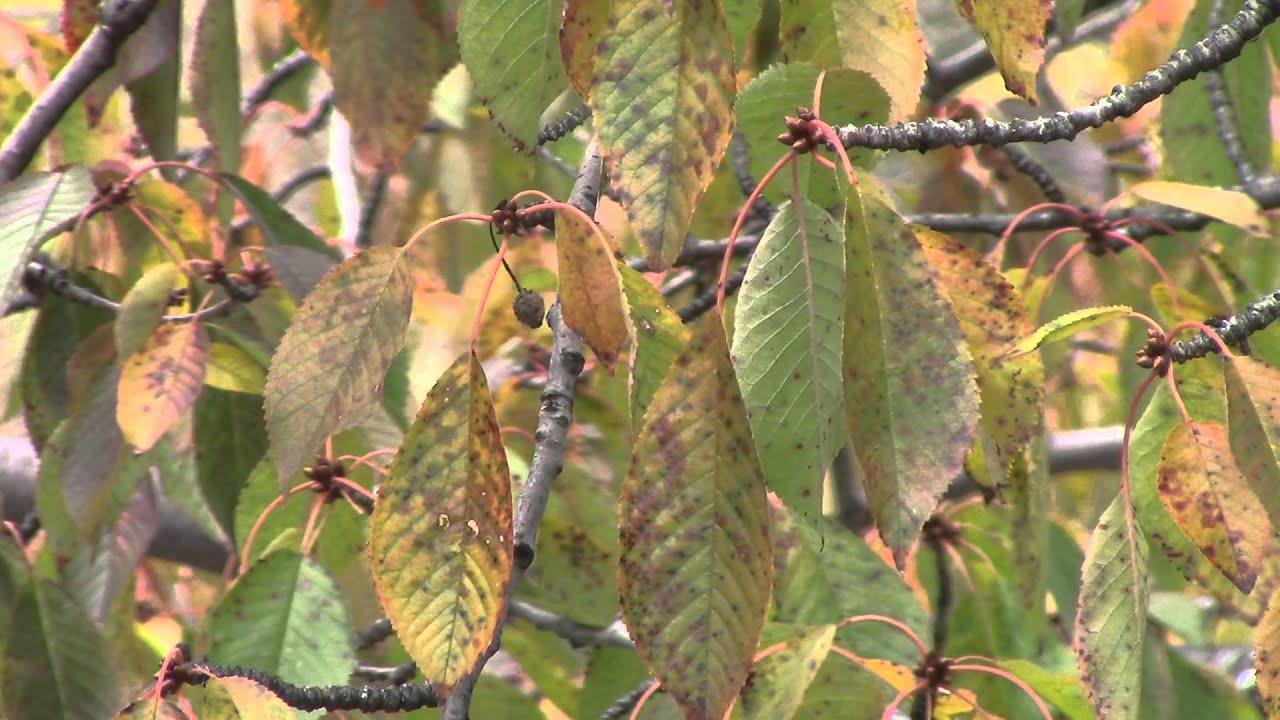 Желтеют листья у вишни что делать фото