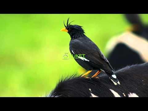 Suara Burung Jalak Kebo