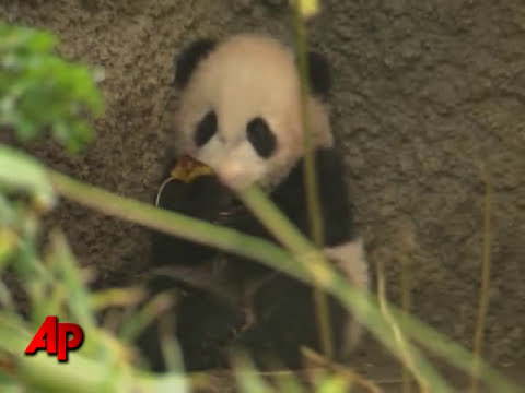 Raw Video: Baby Panda Leaves Den, Sees World