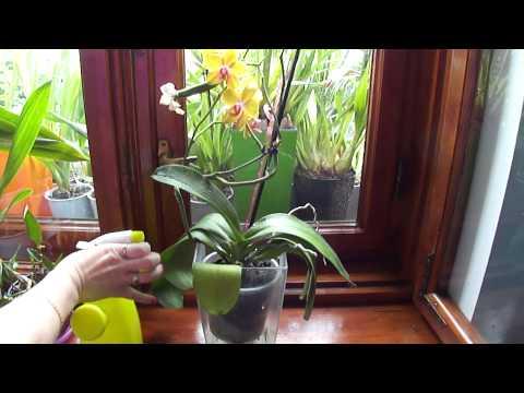 Как я опрыскиваю свои орхидеи по утрам.