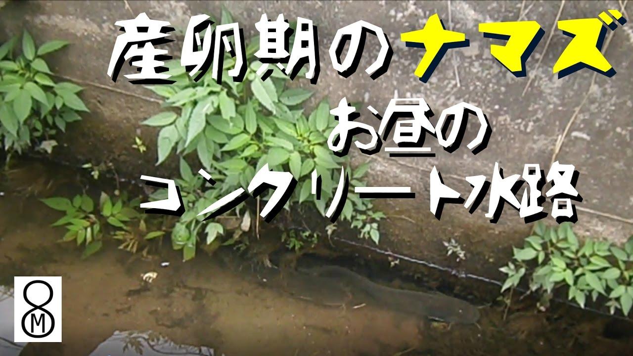 ナマズの画像 p1_8