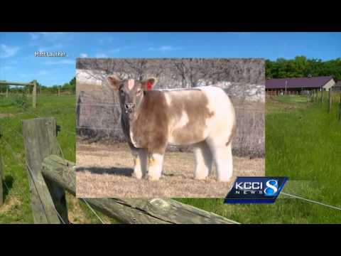 The story behind Iowa's famous fluffy cows