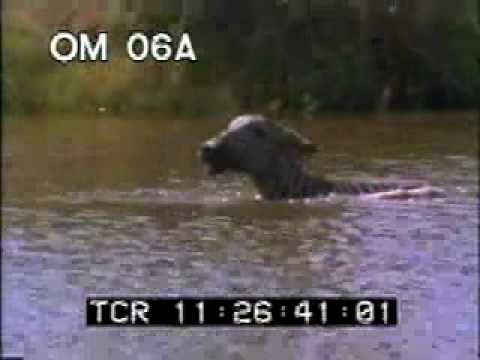 Crocodile Kills Zebra - Crocodile VS Zebra - Best Shot Footage - Stock Footage