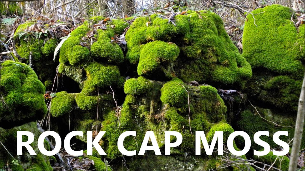 Rock Cap Moss For Sale YouTube