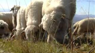 Owce schodzą z hal