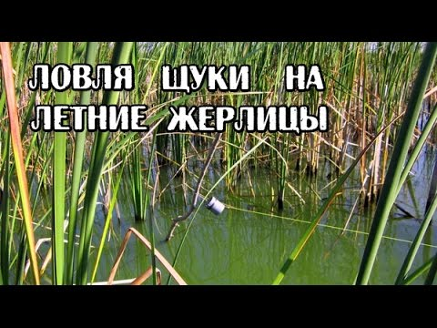 видео ловля щуки на летние жерлицы видео