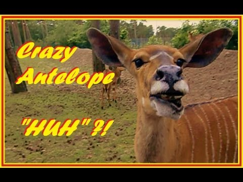 Antelope with funny voice