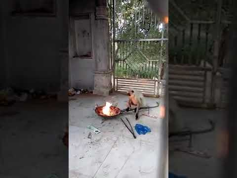 download lagu This Monkey Trying To Play  Fire Funny gratis