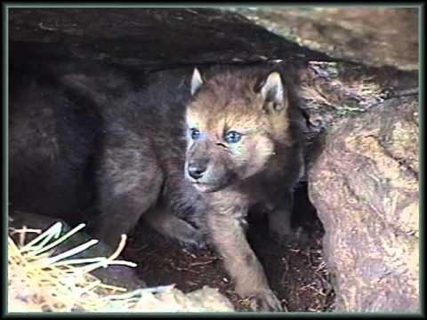 Животный мир Алтайского заповедника.