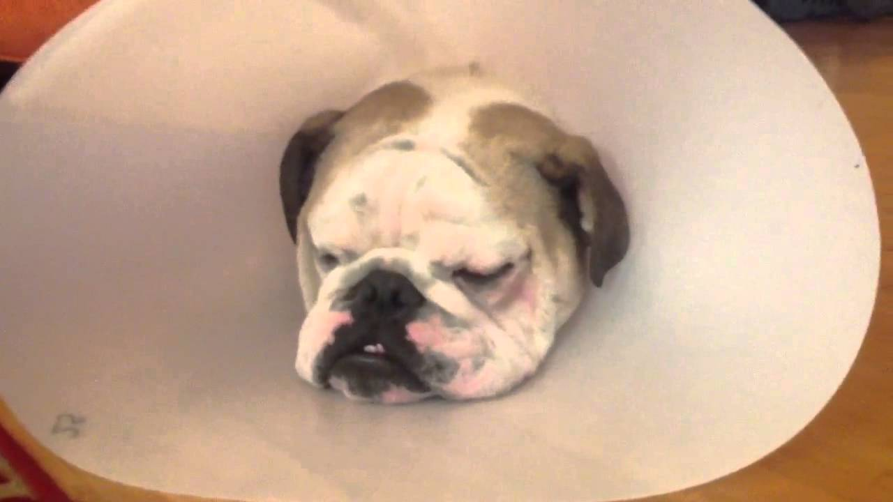 Cherry Eye After Surgery Dogs