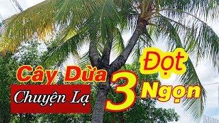 Cây dừa chuyện lạ có 3 ngọn ở Việt nam.Strange coconut trees have 3 tops in Vietnam