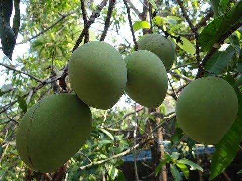 Moovandan mango tree with lot of mangoes