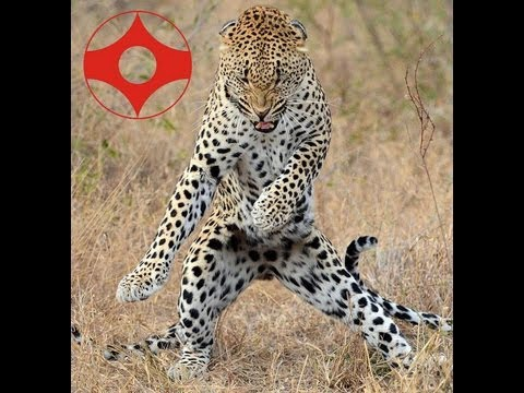 KYOKUSHIN RYU Five Movements Animals Techniques Part II The Leopard  ヒョウ Image 1