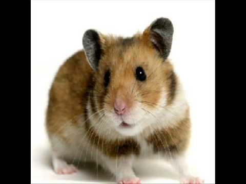 Cotton Eyed Joe Vs Hamster Dance video