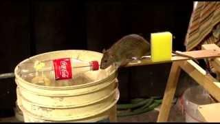 Szczur - nie chciał wejść w pułapkę :)