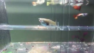 Guppies giving birth, Guppies fry...
