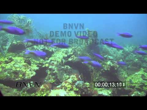5/22/2010 Creole Wrasse HD Stock Footage