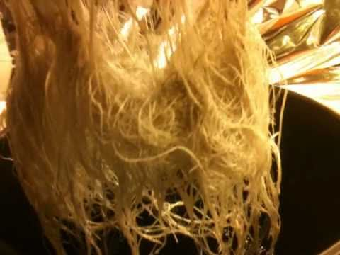 Healthy Roots Hydroponic Medical Marijuana Grow 10    Purple Kush  Documented