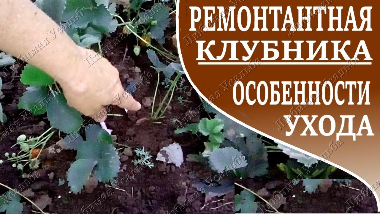 Ремонтантная земляника выращивание и уход обрезка