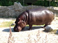 River Hippopotamus at Toronto Zoo