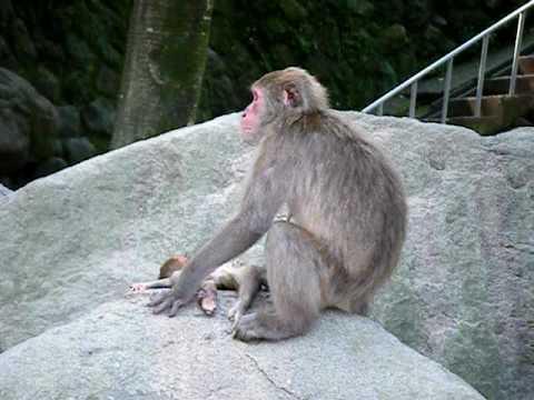 高崎山 死んだ赤ちゃんの世話をするお母さん